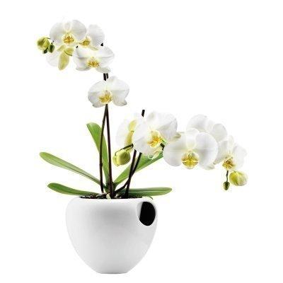 Orkidearuukku valkoninen